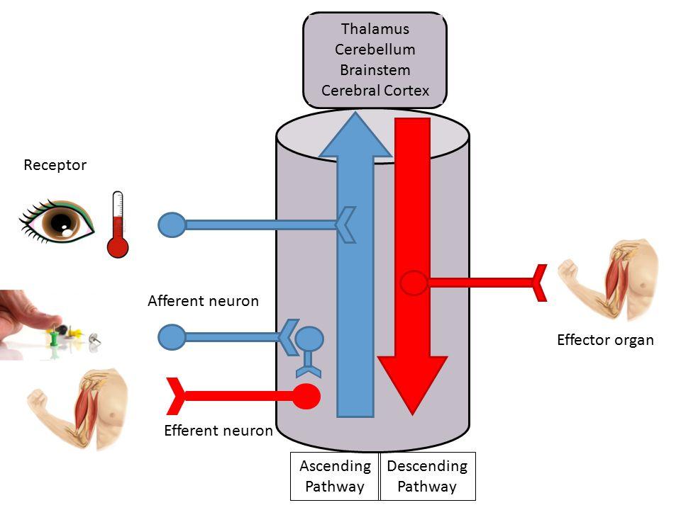 Thalamus Cerebellum Brainstem Cerebral Cortex Receptor Afferent neuron Efferent neuron Effector organ Ascending Pathway Descending Pathway