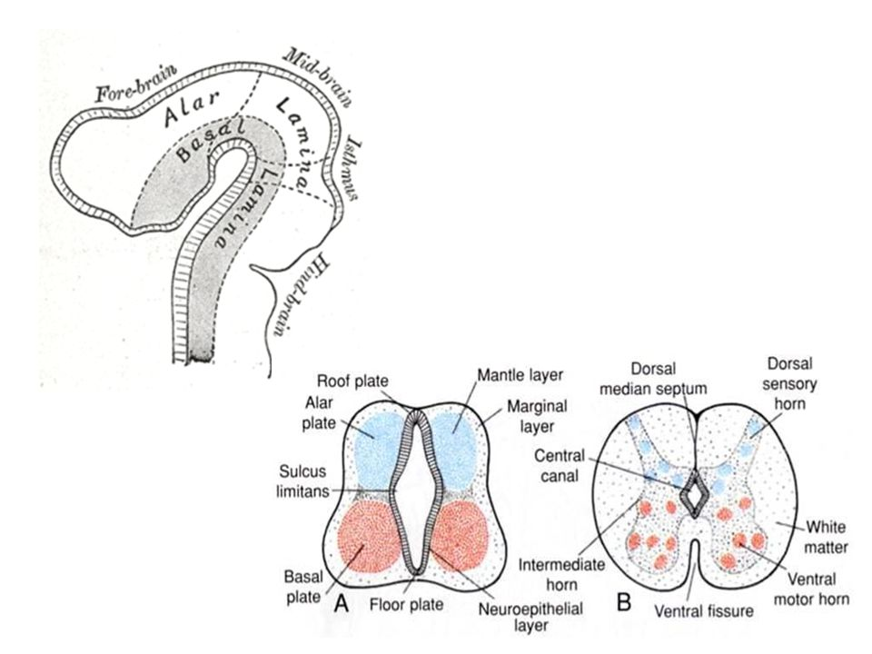 Surface description of spinal cord Diameter: 2 cm Length: 42-45 cm (from medulla oblongata or decussation pyramids to L2 vertebra) It has 2 enlargements: Cervical/upper enlargement – C4-Th1 Lumbar/lower enlargement - Th9-Th12 Expansions of gray matter providing nerves for upper and lower limb.