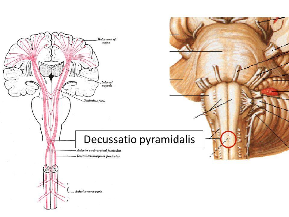 Tr.corticospinalis lat. Tr. corticospinalis ant. Tr.