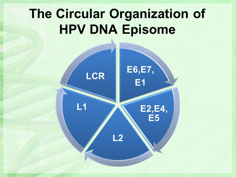 Integration of HPV-DNA into Host-cell DNA E6,E7, E1 E2,E4, E5 L2 L1 LRR L2 L1 LCR E6 E7 E1 E2 Opening of Viral Ring Frequently Deleted during Integration Chimeric transcripts, Increased mRNA life span Integration Modulation of viral transcription by host cell promoters