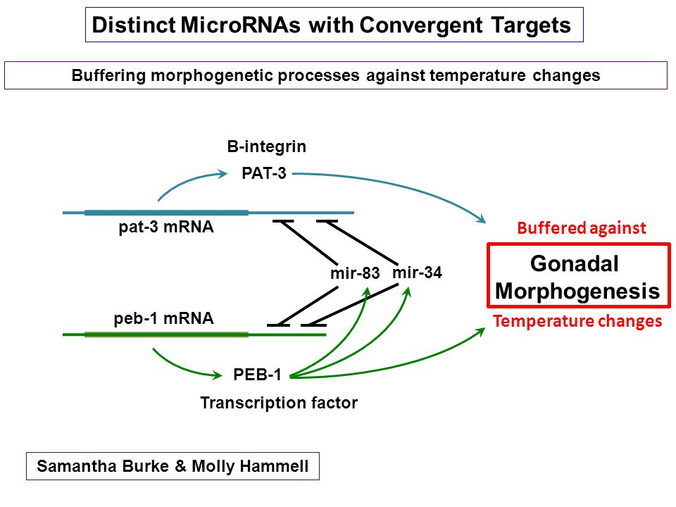 Buffering morphogenetic processes against temperature changes Distinct MicroRNAs with Convergent Targets mir-34 mir-83 pat-3 mRNA peb-1 mRNA PAT-3 Gonadal Morphogenesis PEB-1 Buffered against Temperature changes Samantha Burke & Molly Hammell B-integrin Transcription factor