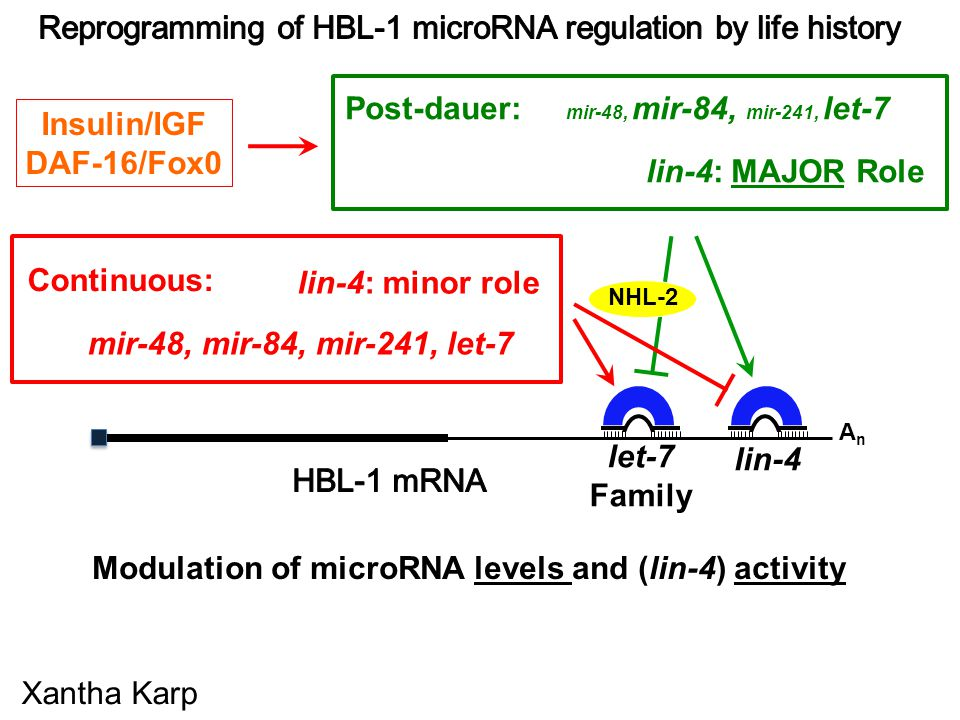 AnAn AGO Xantha Karp Modulation of microRNA levels and (lin-4) activity let-7 Family lin-4 Post-dauer: mir-48, mir-84, mir-241, let-7 lin-4: MAJOR Role mir-48, mir-84, mir-241, let-7 lin-4: minor role Continuous: NHL-2 Insulin/IGF DAF-16/Fox0