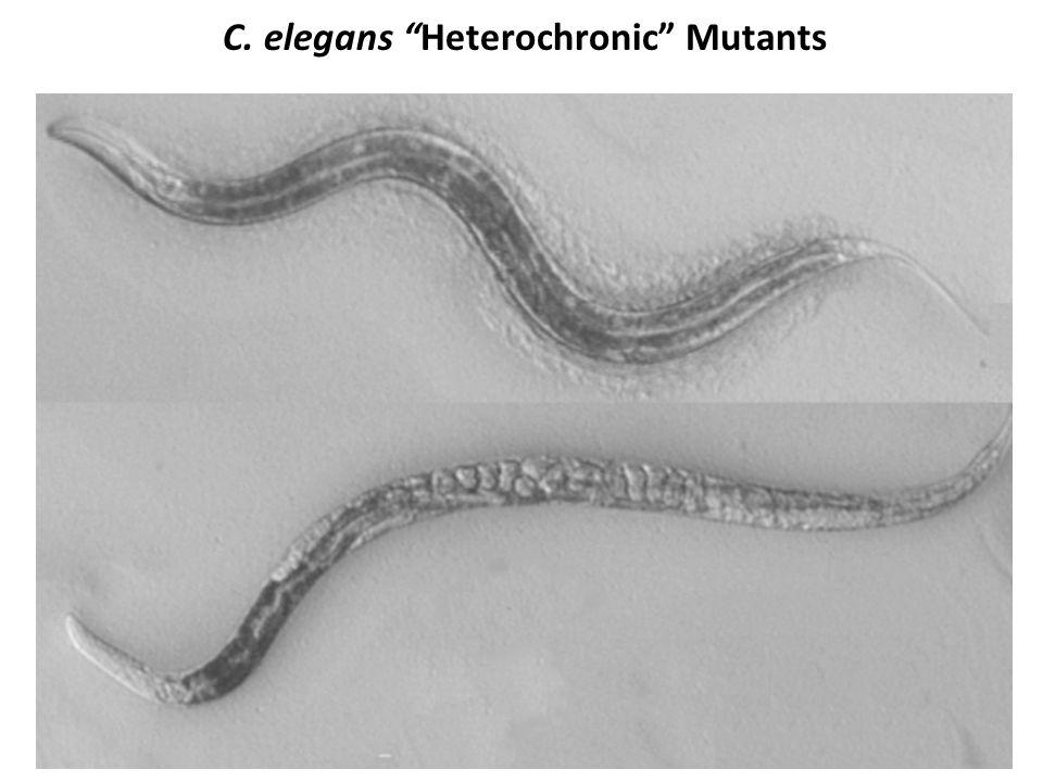 """C. elegans """"Heterochronic"""" Mutants lin-4(e912) (Chalfie et al, 1980 ) Wild type"""