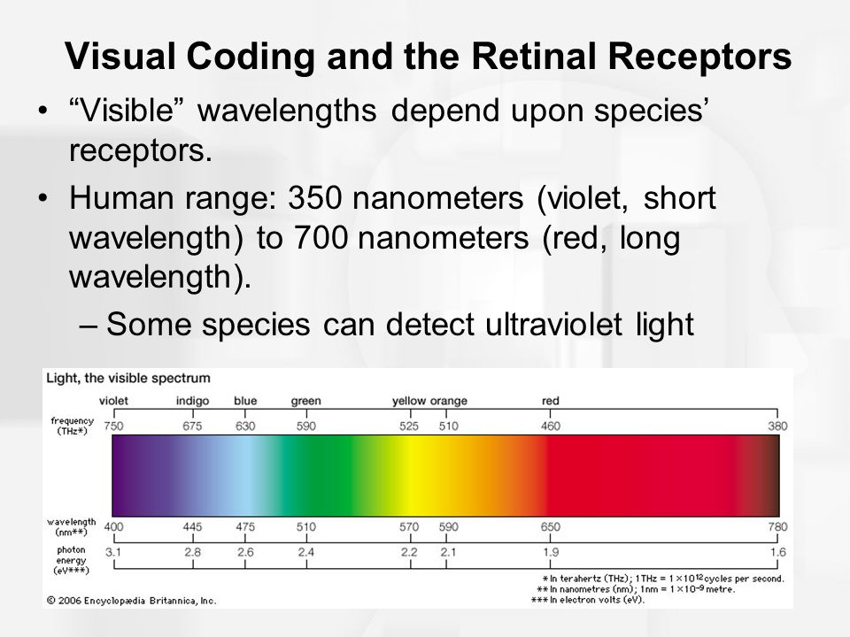 "Visual Coding and the Retinal Receptors ""Visible"" wavelengths depend upon species' receptors. Human range: 350 nanometers (violet, short wavelength) t"