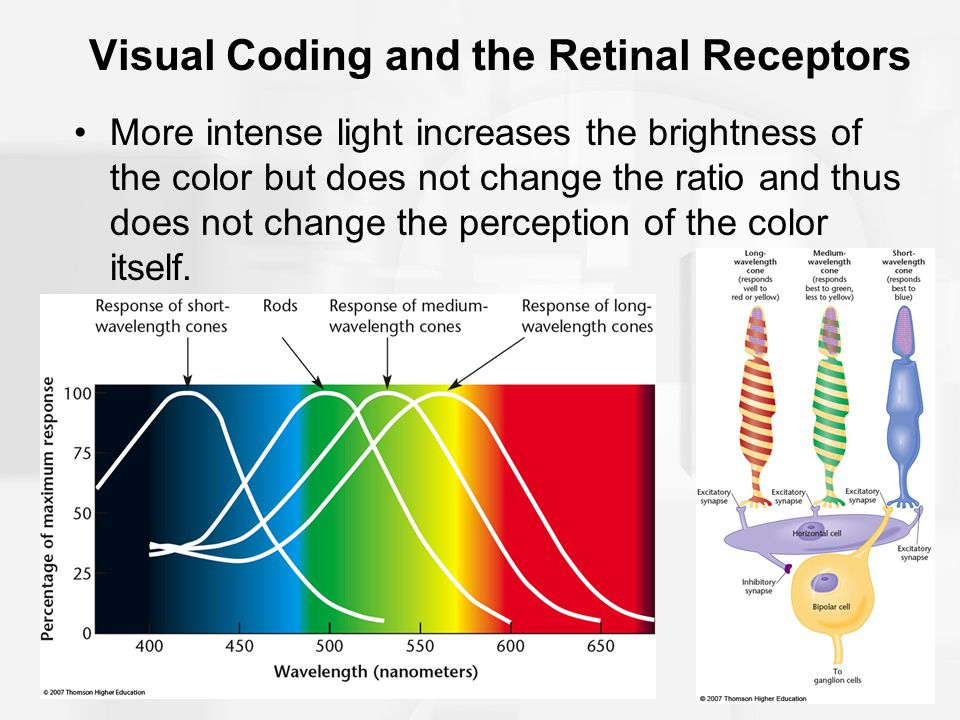 Visual Coding and the Retinal Receptors More intense light increases the brightness of the color but does not change the ratio and thus does not chang