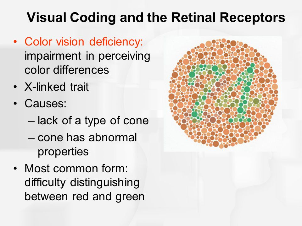 Visual Coding and the Retinal Receptors Color vision deficiency: impairment in perceiving color differences X-linked trait Causes: –lack of a type of