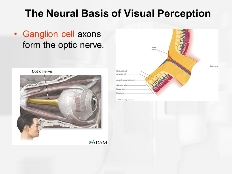 The Neural Basis of Visual Perception Ganglion cell axons form the optic nerve.