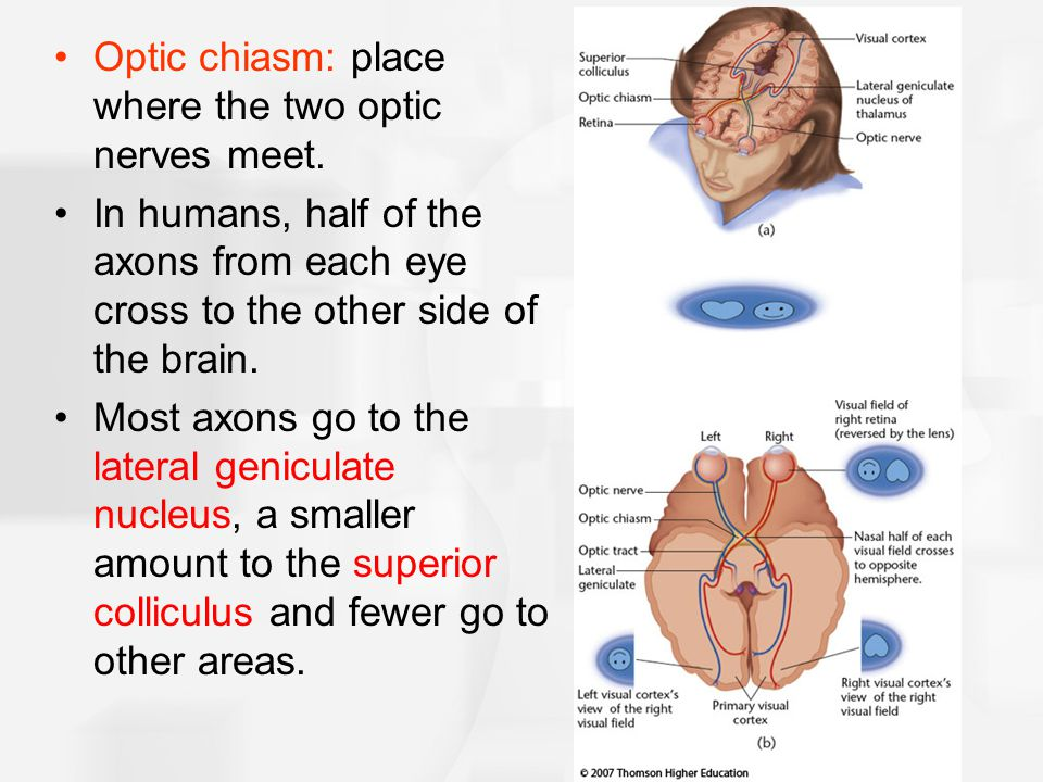 Optic chiasm: place where the two optic nerves meet. In humans, half of the axons from each eye cross to the other side of the brain. Most axons go to
