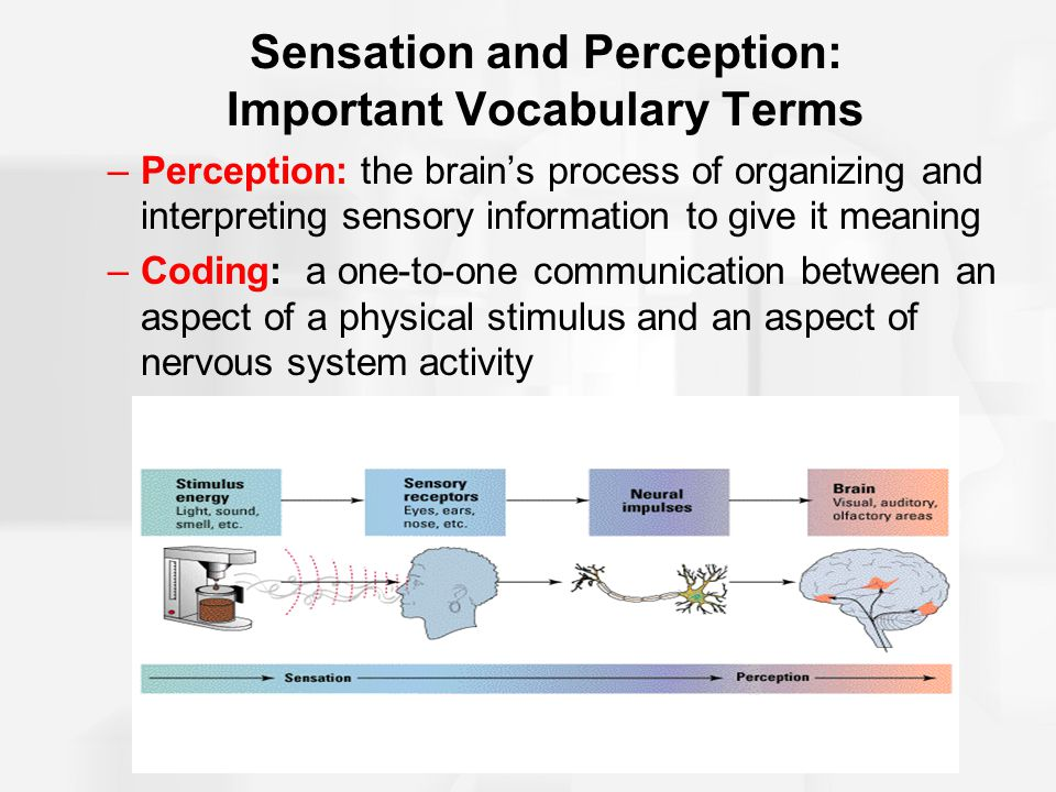 Sensation and Perception: Important Vocabulary Terms –Perception: the brain's process of organizing and interpreting sensory information to give it me
