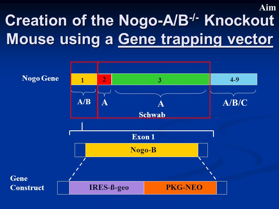 Creation of the Nogo-A/B -/- Knockout Mouse using a Gene trapping vector A/B A A A/B/C 1 2 3 4-9 Nogo Gene Exon 1 Nogo-B IRES-ß-geoPKG-NEO Gene Construct Schwab Aim