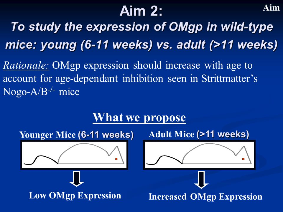 Aim 2: To study the expression of OMgp in wild-type mice: young (6-11 weeks) vs.