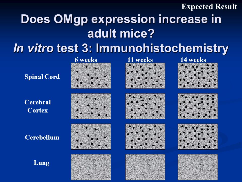 Does OMgp expression increase in adult mice.
