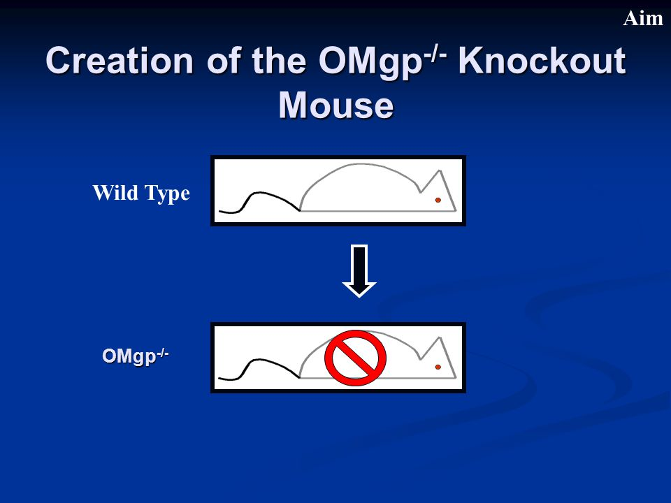 Creation of the OMgp -/- Knockout Mouse Wild Type OMgp -/- Aim