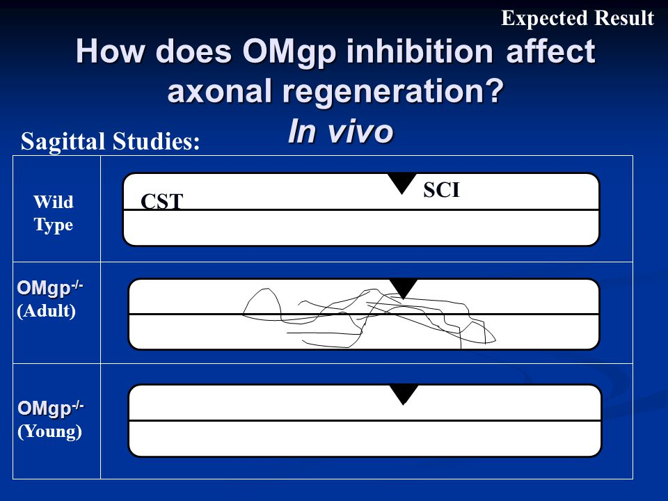 How does OMgp inhibition affect axonal regeneration.