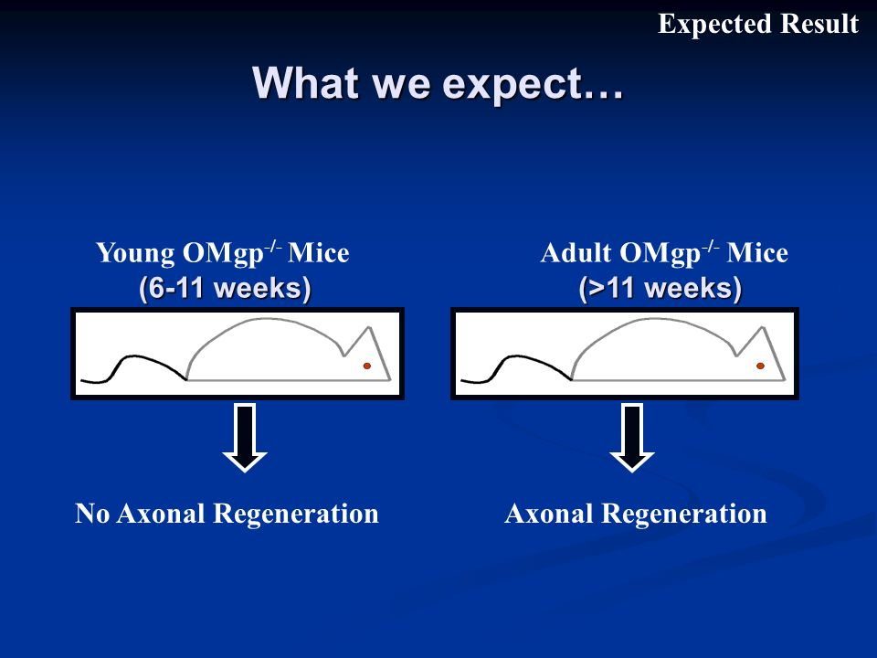 What we expect… Young OMgp -/- Mice (6-11 weeks) Adult OMgp -/- Mice (>11 weeks) No Axonal Regeneration Axonal Regeneration Expected Result