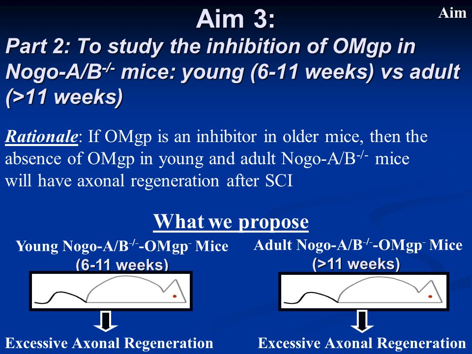 Part 2: To study the inhibition of OMgp in Nogo-A/B -/- mice: young (6-11 weeks) vs adult (>11 weeks) Aim 3: Young Nogo-A/B -/- -OMgp - Mice (6-11 weeks) Adult Nogo-A/B -/- -OMgp - Mice (>11 weeks) What we propose Excessive Axonal Regeneration Rationale: If OMgp is an inhibitor in older mice, then the absence of OMgp in young and adult Nogo-A/B -/- mice will have axonal regeneration after SCI Aim
