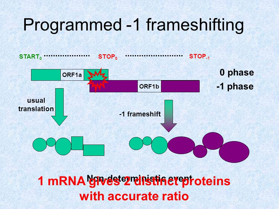 Programmed -1 frameshifting Non-deterministic event ORF1a START 0 STOP 0 0 phase STOP -1 ORF1b -1 phase usual translation -1 frameshift 1 mRNA gives 2 distinct proteins with accurate ratio