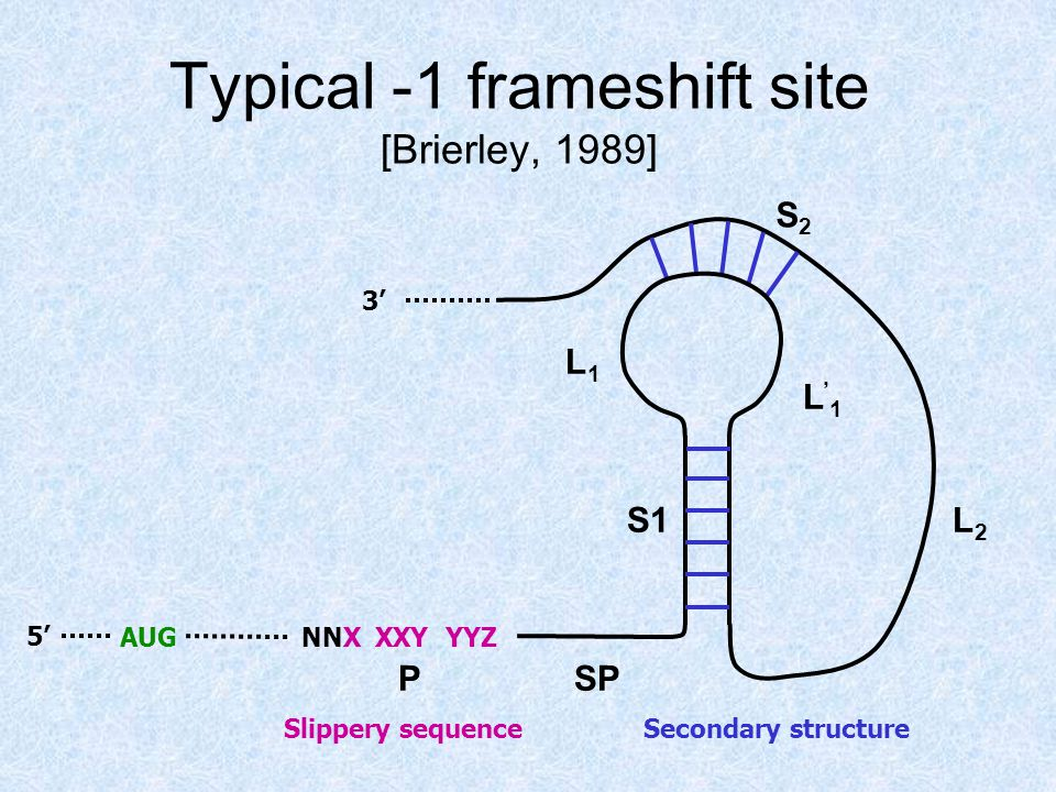 Typical -1 frameshift site [Brierley, 1989] NNX XXY YYZAUG PSP S1 L1L1 S2S2 L2L2 L'1L'1 Slippery sequence Secondary structure 5' 3'