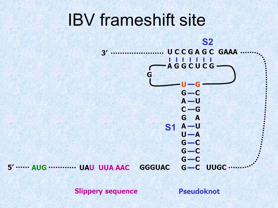 IBV frameshift site UAU UUA AACAUG S1 S2 Slippery sequence Pseudoknot 5' 3' GGGUAC UGACGAUGGGGUGACGAUGGGG GCUGAUACCCCGCUGAUACCCC A G G C U C G U C C G A G C G UUGC GAAA