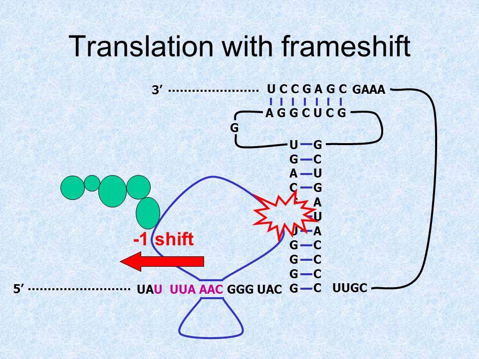 Translation with frameshift UAU UUA AAC GGG UAC5' 3' UGACGAUGGGGUGACGAUGGGG GCUGAUACCCCGCUGAUACCCC A G G C U C G U C C G A G C G UUGC GAAA -1 shift