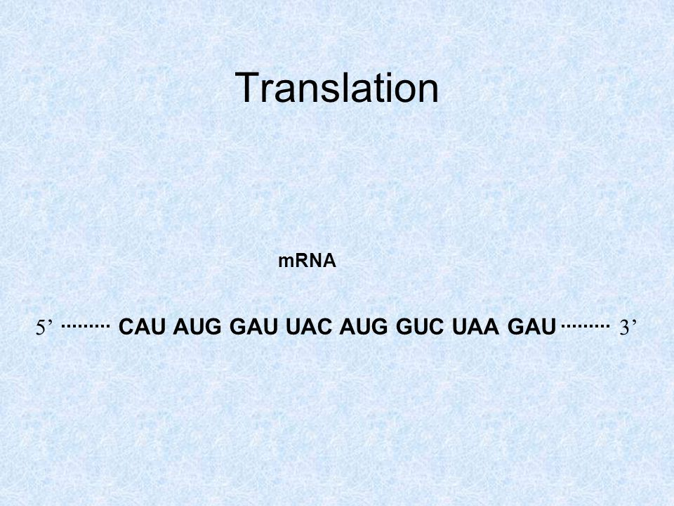 Translation CAU AUG GAU UAC AUG GUC UAA GAU 5'3' mRNA