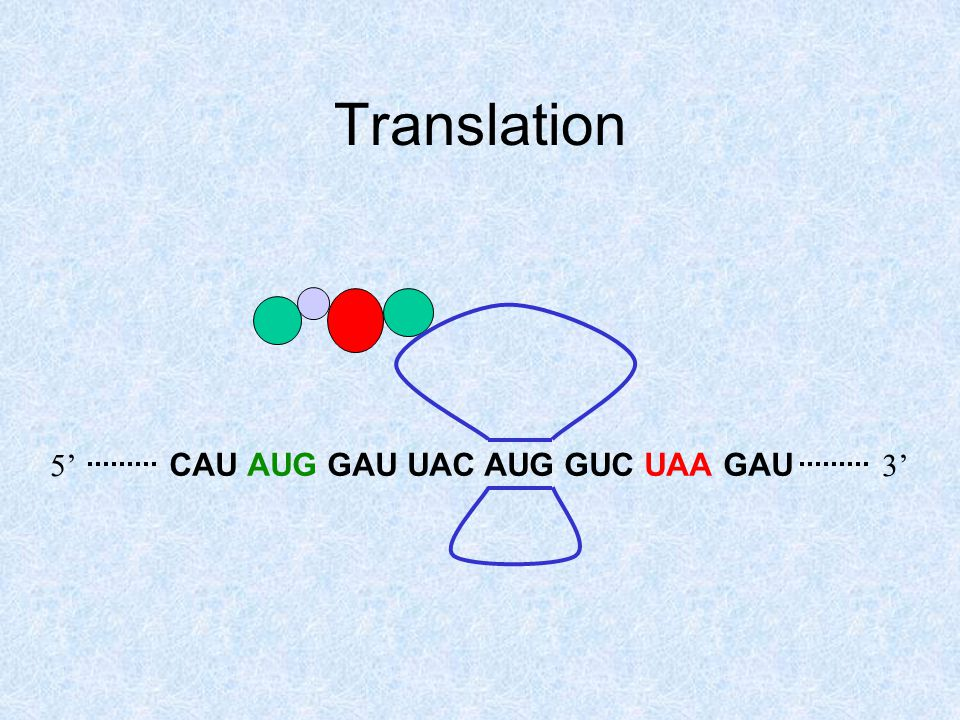 Translation CAU AUG GAU UAC AUG GUC UAA GAU 5'3'