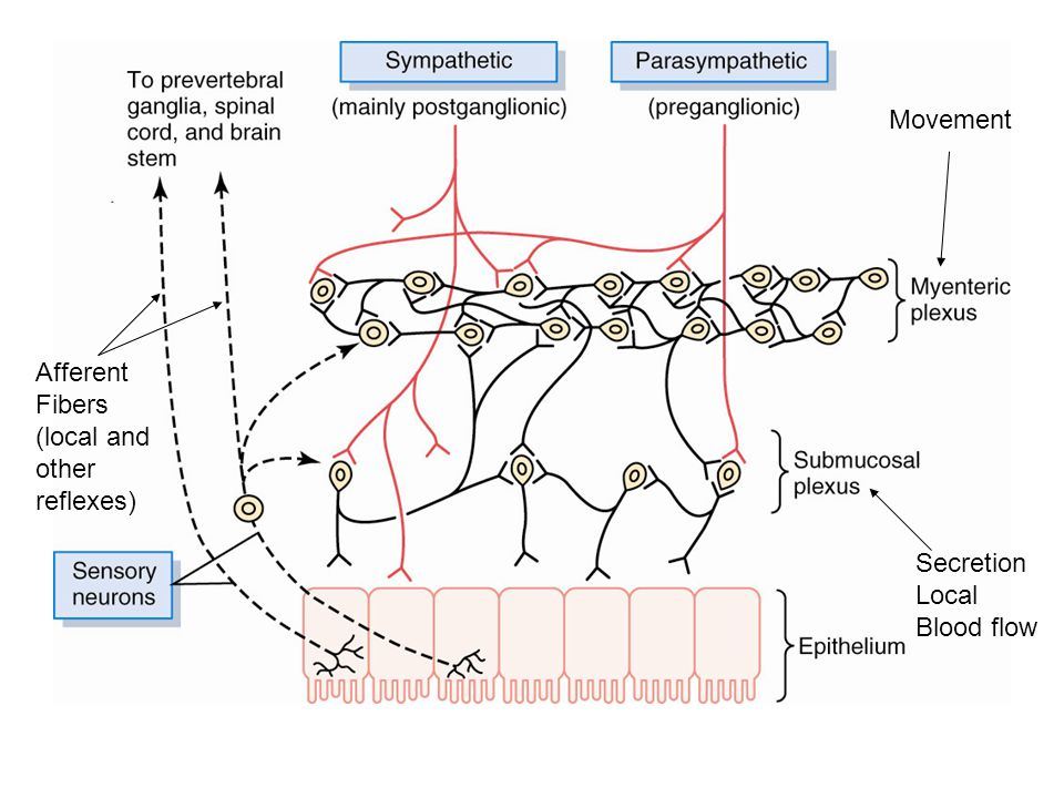 Movement Secretion Local Blood flow Afferent Fibers (local and other reflexes)
