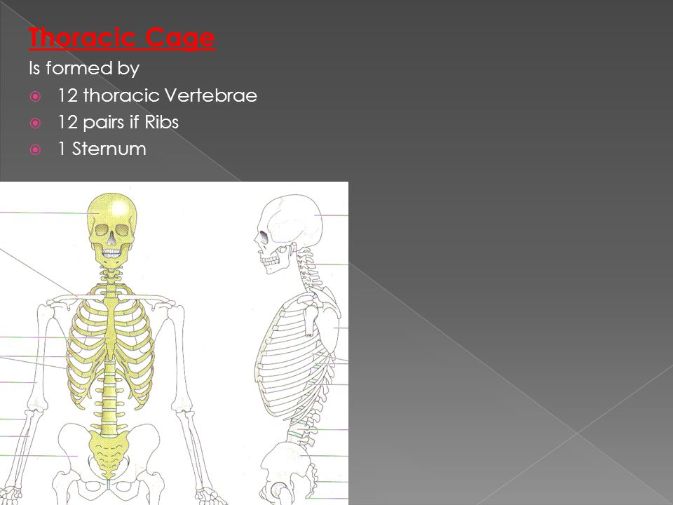 Thoracic Cage Is formed by  12 thoracic Vertebrae  12 pairs if Ribs  1 Sternum