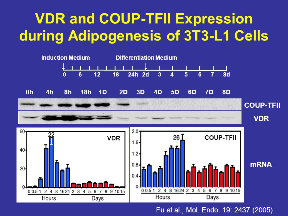 VDR and COUP-TFII Expression during Adipogenesis of 3T3-L1 Cells 0h 4h 8h 18h 1D 2D 3D 4D 5D 6D 7D 8D VDR COUP-TFII 0 6 12 18 24h 2d 3 4 5 6 7 8d Indu
