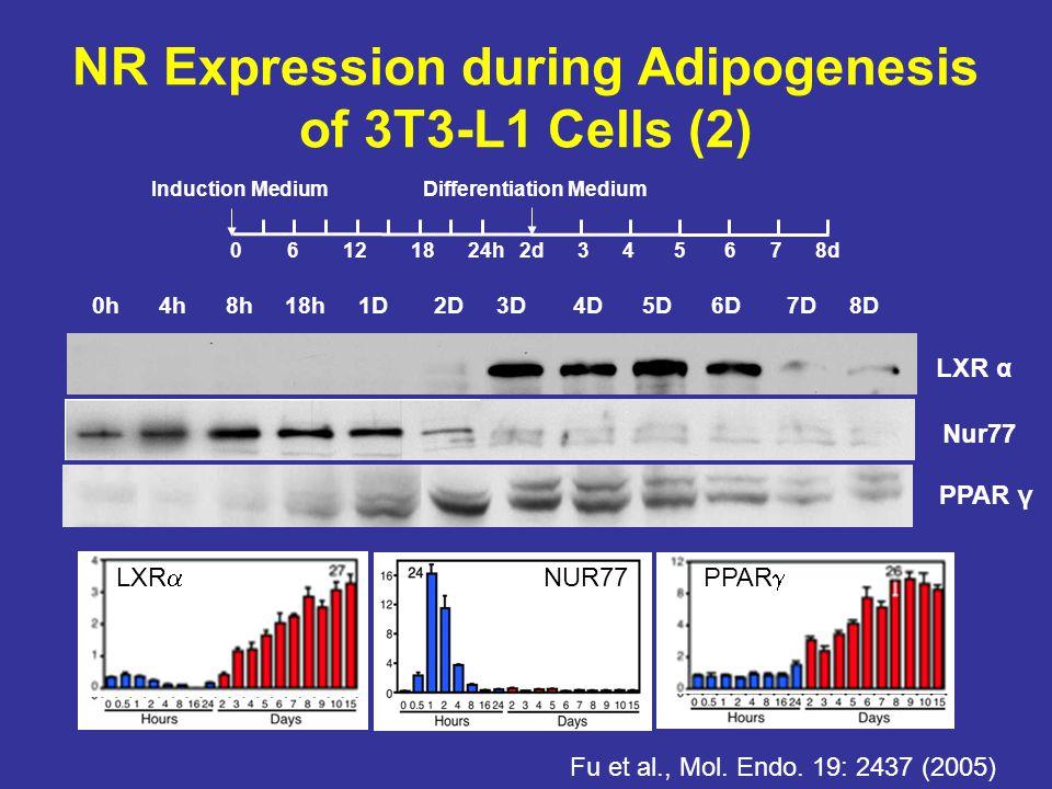 LXR α 0h 4h 8h 18h 1D 2D 3D 4D 5D 6D 7D 8D 0 6 12 18 24h 2d 3 4 5 6 7 8d Induction MediumDifferentiation Medium NR Expression during Adipogenesis of 3T3-L1 Cells (2) Fu et al., Mol.