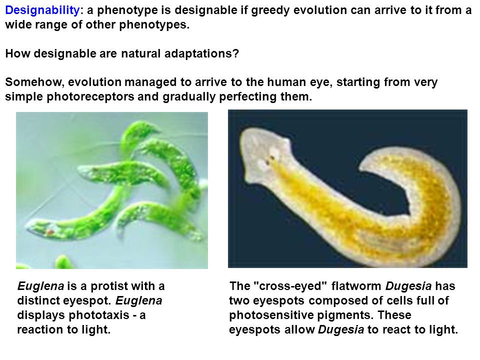 Designability: a phenotype is designable if greedy evolution can arrive to it from a wide range of other phenotypes.