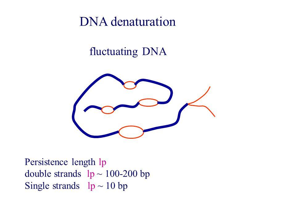 Persistence length lp double strands lp ~ 100-200 bp Single strands lp ~ 10 bp fluctuating DNA DNA denaturation