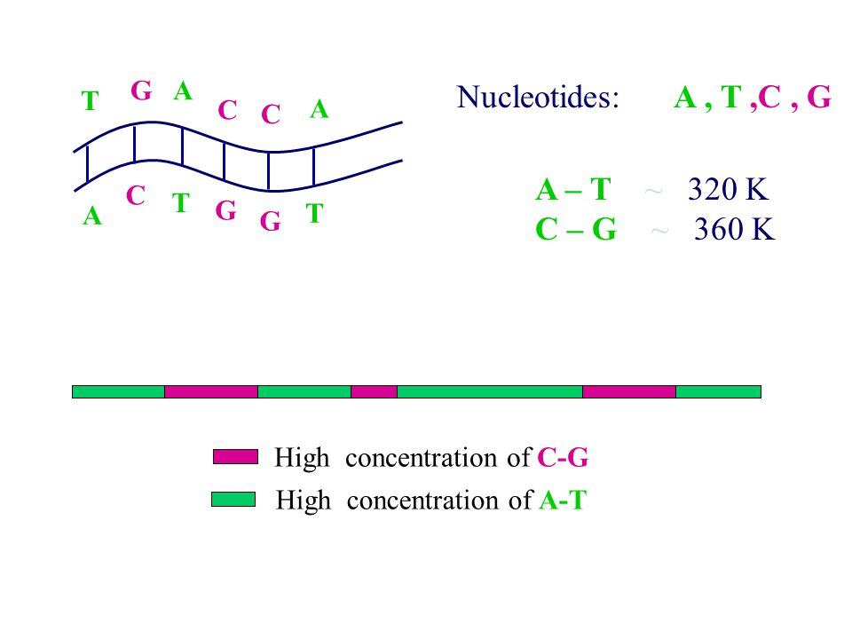 GA T C C A A C T G G T Nucleotides: A, T,C, G A – T ~ 320 K C – G ~ 360 K High concentration of C-G High concentration of A-T