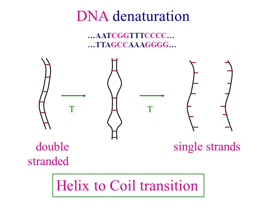 DNA denaturation TT double stranded single strands Helix to Coil transition …AATCGGTTTCCCC… …TTAGCCAAAGGGG…