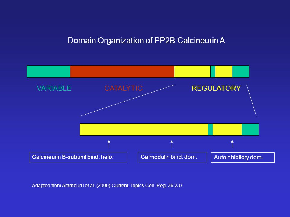 CATALYTIC REGULATORY VARIABLE Domain Organization of PP2B Calcineurin A Calcineurin B-subunit bind. helixCalmodulin bind. dom. Autoinhibitory dom. Ada