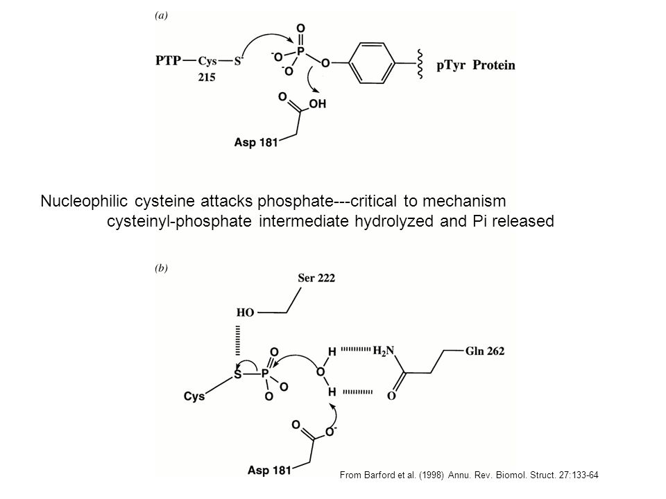 Nucleophilic cysteine attacks phosphate---critical to mechanism cysteinyl-phosphate intermediate hydrolyzed and Pi released From Barford et al. (1998)