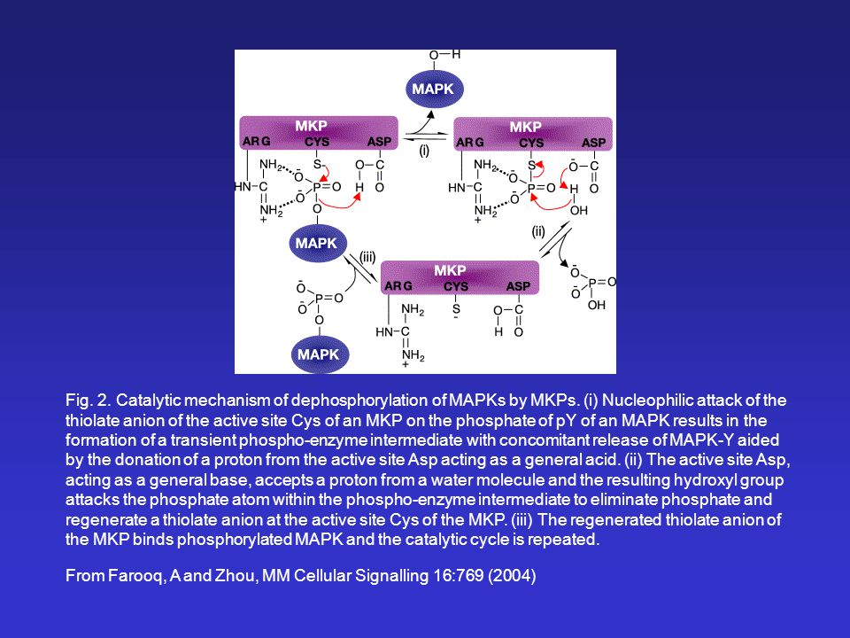 From Farooq, A and Zhou, MM Cellular Signalling 16:769 (2004) Fig. 2. Catalytic mechanism of dephosphorylation of MAPKs by MKPs. (i) Nucleophilic atta