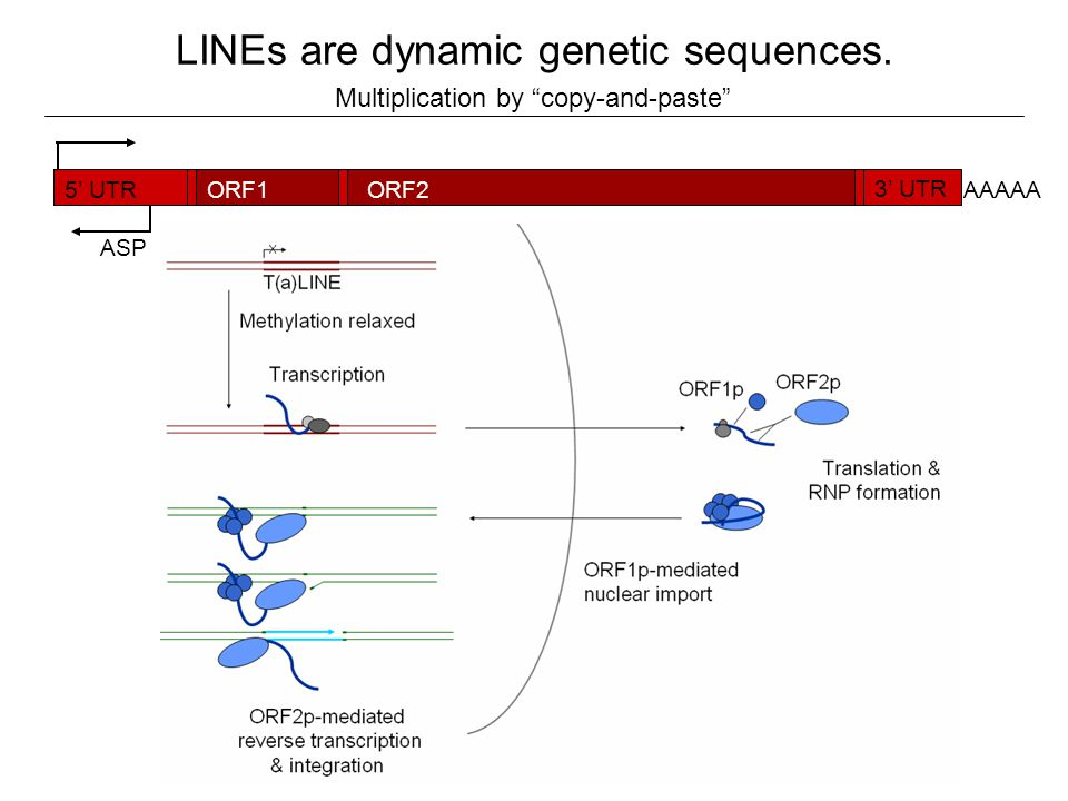 LINEs are dynamic genetic sequences.