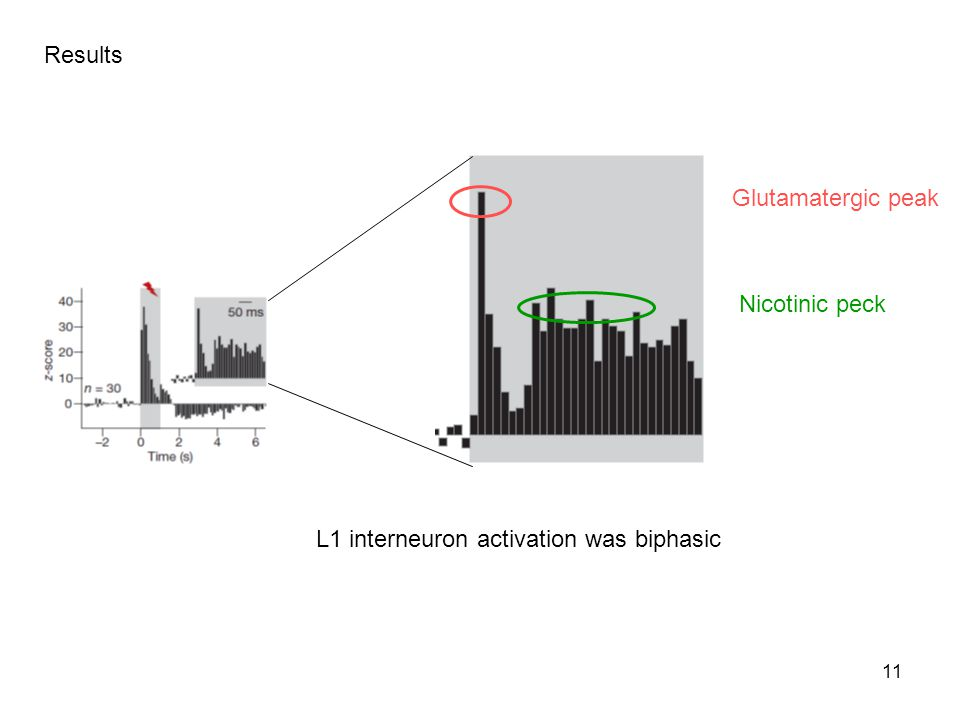 11 Results Glutamatergic peak Nicotinic peck L1 interneuron activation was biphasic