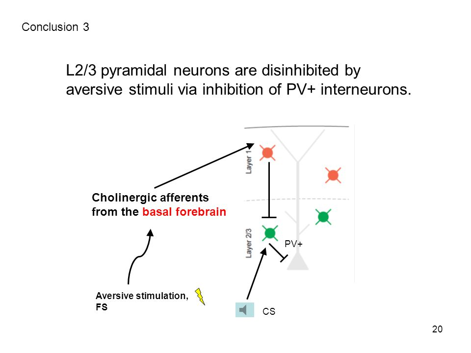 20 Conclusion 3 L2/3 pyramidal neurons are disinhibited by aversive stimuli via inhibition of PV+ interneurons.