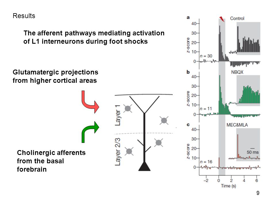 9 Results Glutamatergic projections from higher cortical areas Cholinergic afferents from the basal forebrain The afferent pathways mediating activation of L1 interneurons during foot shocks