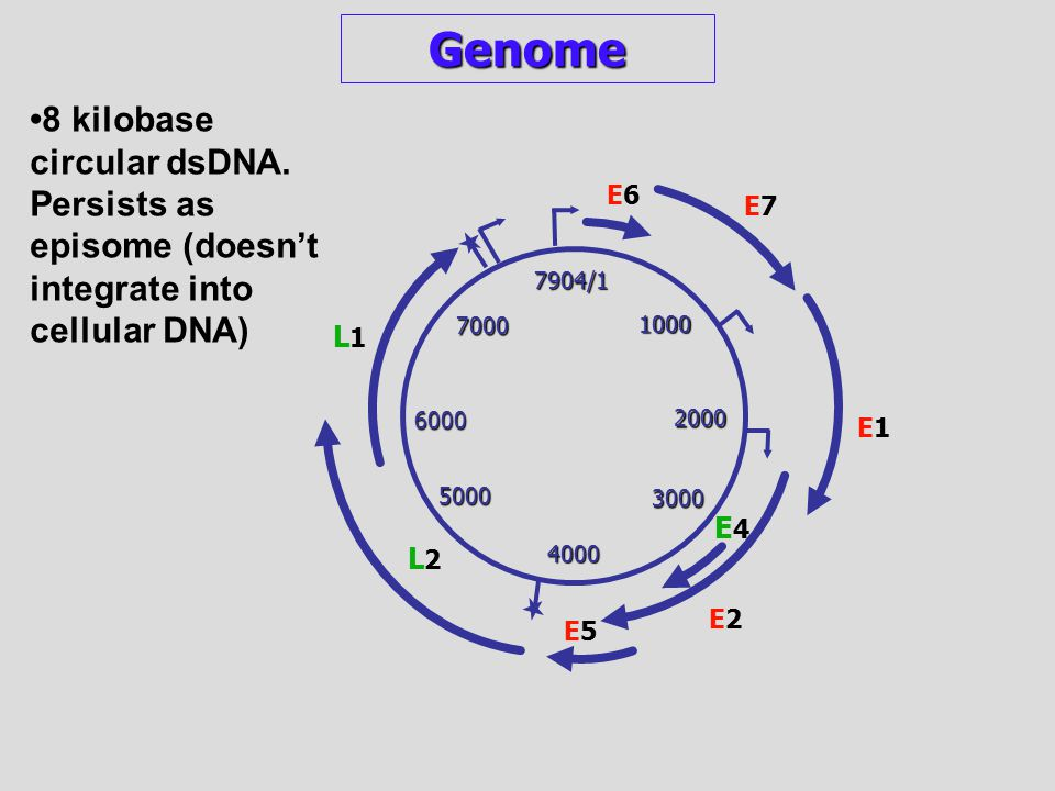 1000 2000 3000 4000 5000 6000 7000 7904/1 E6E6 E7E7 E1E1 E2E2 E4E4 E5E5 L2L2 Genome 8 kilobase circular dsDNA. Persists as episome (doesn't integrate