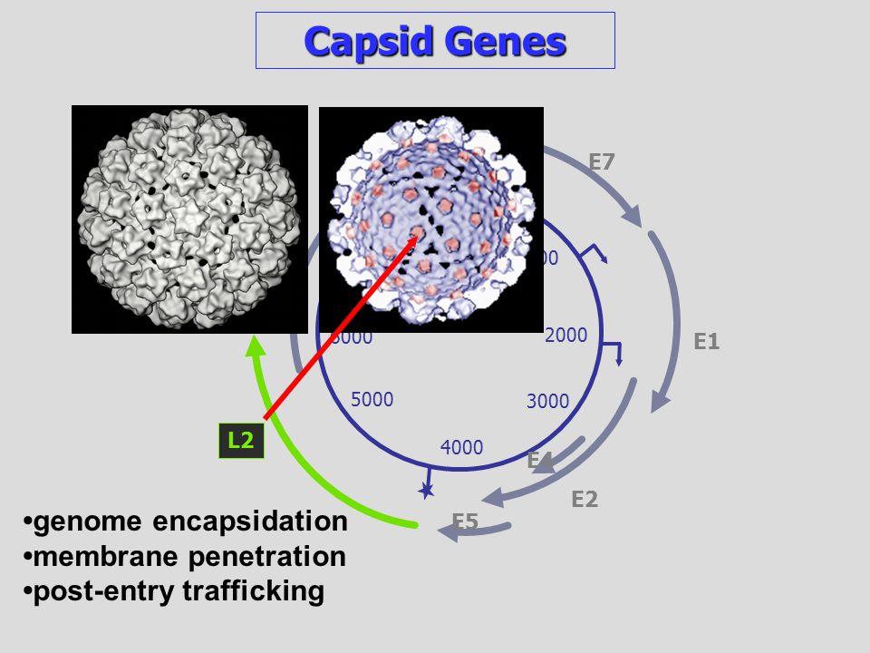 genome encapsidation membrane penetration post-entry trafficking 1000 2000 3000 4000 5000 6000 7000 7904/1 E6 E7 E1 E2 E4 E5 Capsid Genes L2 L1
