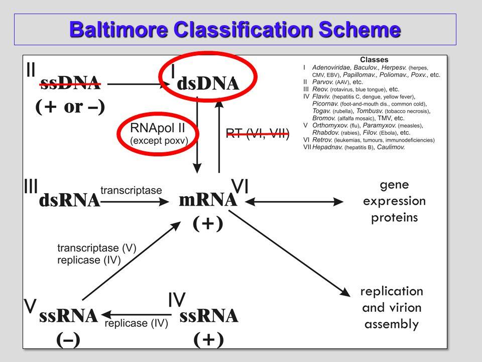 Baltimore Classification Scheme