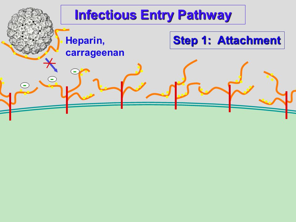 Infectious Entry Pathway Heparin, carrageenan - - - Step 1: Attachment