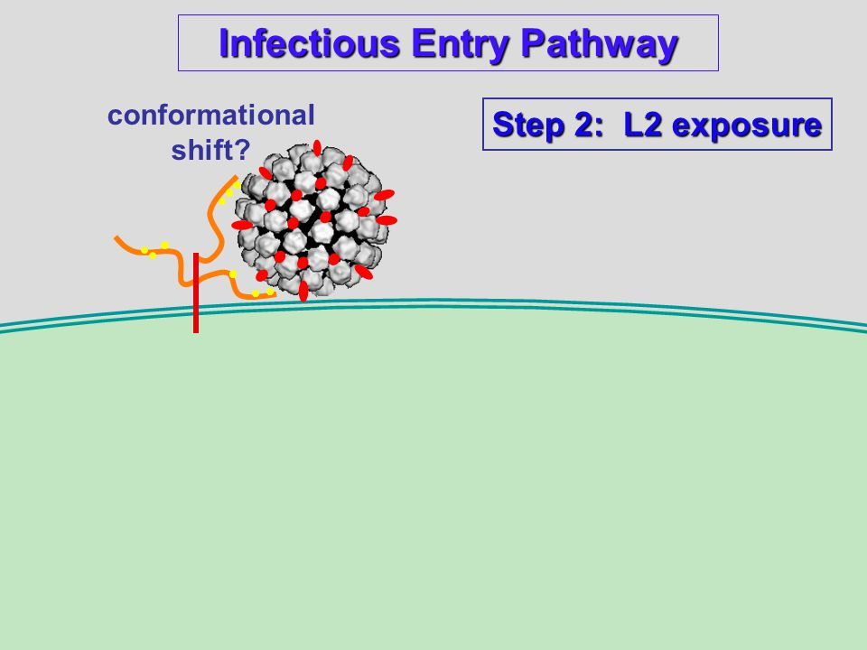Infectious Entry Pathway conformational shift Step 2: L2 exposure
