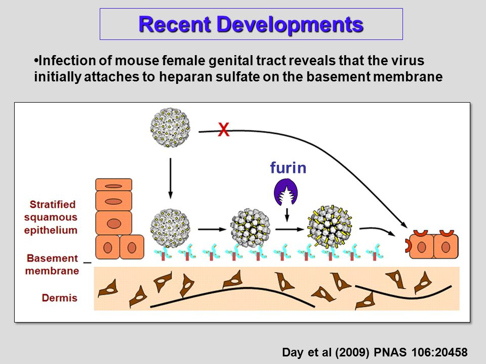 Recent Developments Infection of mouse female genital tract reveals that the virus initially attaches to heparan sulfate on the basement membrane furin Day et al (2009) PNAS 106:20458