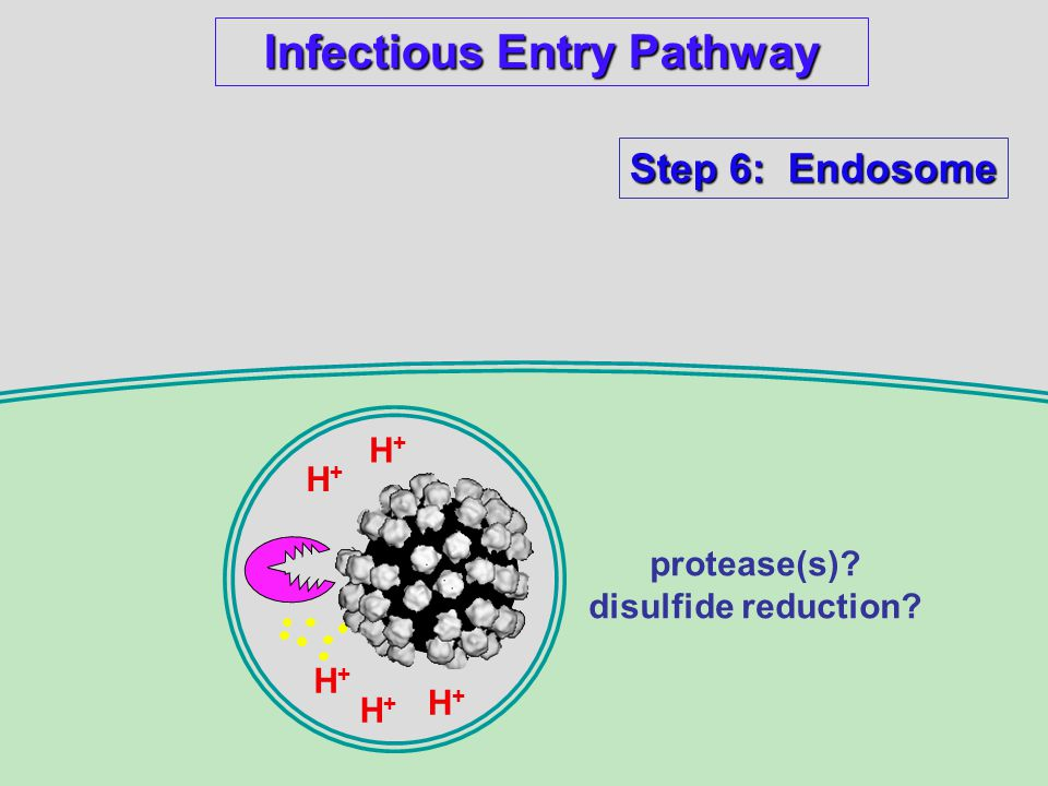 Infectious Entry Pathway Step 6: Endosome H+H+ H+H+ H+H+ H+H+ H+H+ protease(s).