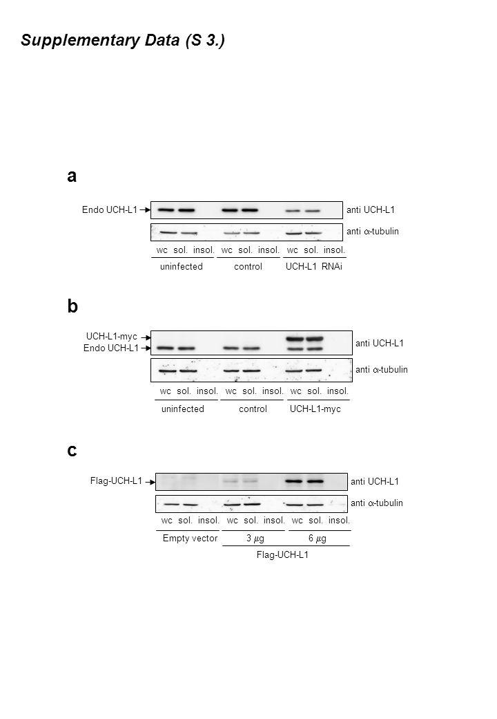 anti UCH-L1 anti  -tubulin controlUCH-L1 RNAi wc sol.