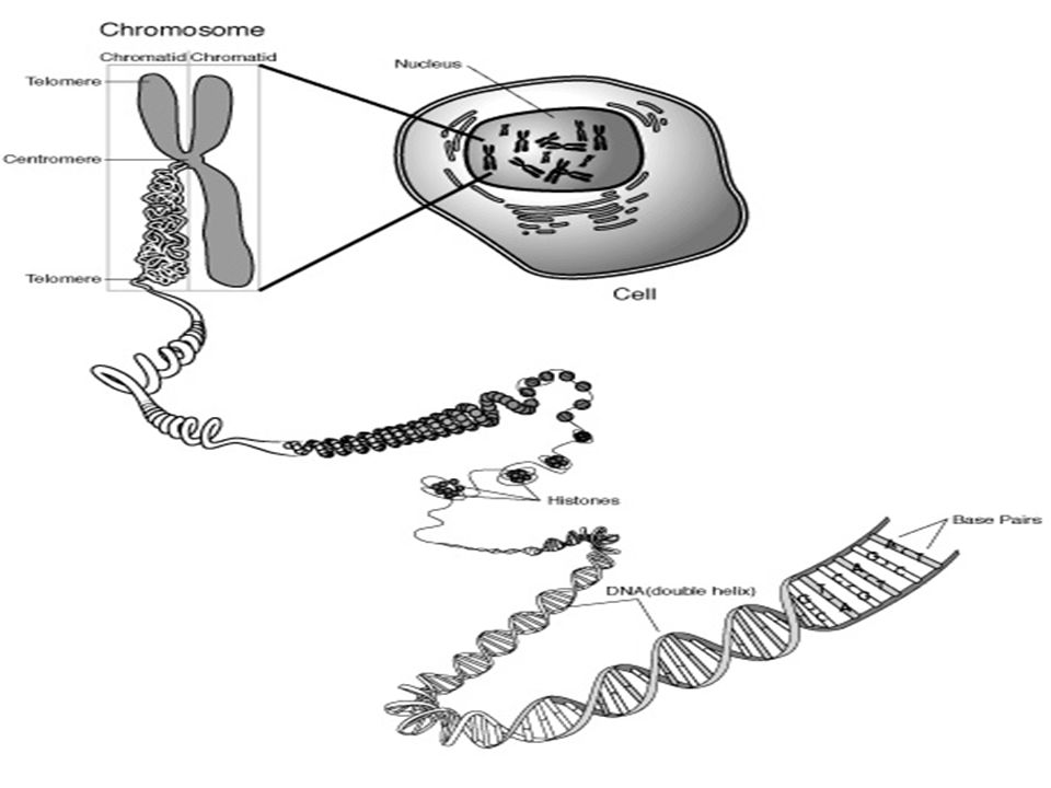 Eukaryotic chromosomes contain DNA and protein The chromosomes carry the genetic information